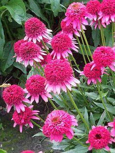 Купить многолетние цветы в интернет-магазине деленка цветв розы где купить и цена