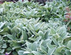 Plant of the Day: Lamb's Ear