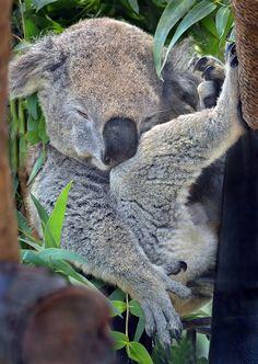 """Koala: """"I like to put my feet up, as I sleep."""" (Photo By: Ion Moe.)"""