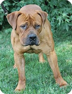 Pompton lakes, NJ - Mastiff Mix. Meet Aza, a dog for adoption. http://www.adoptapet.com/pet/13493374-pompton-lakes-new-jersey-mastiff-mix