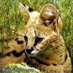 Cybil the serval--Big Cat Rescue