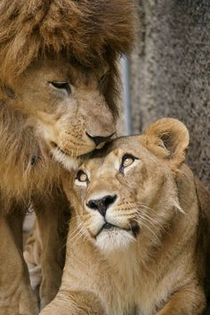 Lovely ❤ lion art, nature animals, scary animals, animals and pets, cute Lion Images, Lion Pictures, Daily Pictures, Big Cats, Cats And Kittens, Cute Cats, Siamese Cats, Beautiful Cats, Animals Beautiful