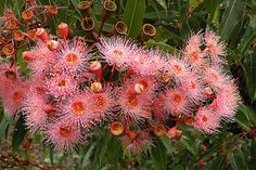 This is a stunning grafted flowering gum which produces masses of flowers in summer. large glossy foliage is dark green in colour, highlighted by lighter Australian Wildflowers, Australian Native Flowers, Australian Plants, Australian Birds, Tropical Flowers, Colorful Flowers, Beautiful Flowers, Simple Flowers, Orange Flowers