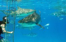 cage diving with great whites in south africa