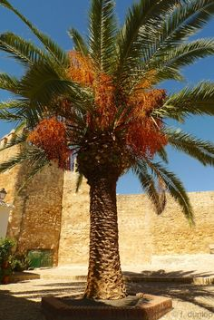 Date-palm in Iznajar, Andalucia, by old Moorish castle
