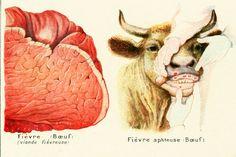 1922 Signes Caractéristiques de Maladies chez les Animaux . Planche illustrée Larousse. Illustration race de Vaches. Planche originale