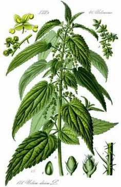 Stinging Nettle (Uritica dioica) | To make Nettles mouth wash, steep fresh or dried Nettles in  hot water with clove and mint. Clove is a powerful oral antispetic, and is useful for bad breath from foods like coffee. Anise or Fennel are also useful.  Now mix that water extract with Vodka, 1:1. Another option is to just decant the herbs directly in the Vodka.
