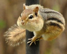 Chipmunk with his treasure trove Super Cute Animals, Cute Baby Animals, Funny Animals, Wild Animals, Baby Chipmunk, Cute Squirrel, Animal Photography, Wildlife Photography, Tiger Cubs