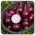 """Red Baron Onion. Open Pollinated. Versatile for mid-sized onions or beautiful purple scallions. Deep red skin and royal purple inner rings with good color throughout. For scallions, harvest at 12-15"""" tall just before the bulb begins to swell, or harvest bulbs for fresh bunches. Performs well planted in clumps of 4-5; succession planting is recommended. Long day · Bunching or full size · 3"""" bulbs (Allium cepa.)  Days to maturity: 115 days"""