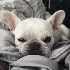 """I already want to take a nap tomorrow"", Zoe, the Lazy French Bulldog   #napqueen by _zoethefrenchie_"