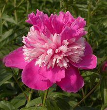 KAUPPILA 14,8 Paeonia lactiflora Celebrity  Ainutlaatuinen jalopioni, jonka suurissa kukassa on valkoisten ja vadelmanpunaisten terälehtien näyttäviä kerroksia. Kukkii tanakoin kukkavarsin, tuoksuu valloittavasti ja ansaitsee kaiken saamansa ihailun. Varaa taimelle paikka aurinkoisesta sekä muhevamultaisesta perennapenkistä.