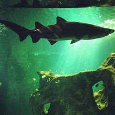 one of the two sand tiger sharks in the huge tank of the aquarium La Rochelle via @Nic Hildebrandt {luzia pimpinella}