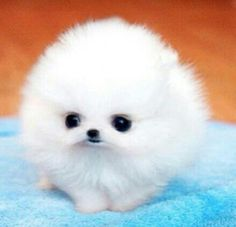 fluffy puppy. Not sure what kind of dog it is but it's dang cute.