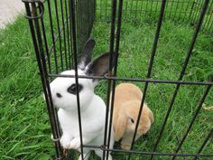 How to Teach Your Rabbit to Come when Called. OMG the white one looks soooo much like my bunny Sophie! All it would need is a bigger black spot on its nose.