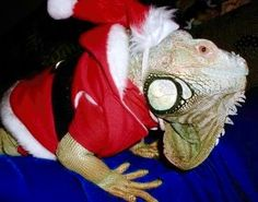 They might look scary without one, but these top 10 exotic animals wearing Santa hats are anything but scary. In fact some of them are rather cute! Exotic Pets, Exotic Animals, Silly Dogs, Reptiles And Amphibians, Christmas Animals, Santa Hat, Funny Cats, Turtle, Weird