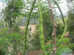 African moringa fruit images wallpaper