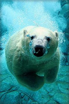 polar bear, ocean pictures
