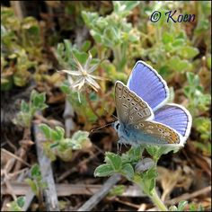 The Spring Azure is one of the shortest lived butterflies lasting only a couple of days.