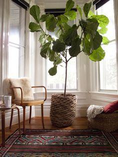 SEM Interiors : I {heart} Fiddle Leaf Figs.