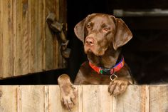 Herschel, a chocolate Labrador from Lake Buchanan, Texas