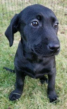 Labrador Retriever Puppy For Sale In Warren Ma Adn 57569 On