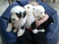 Old English Sheepdog Puppies Classifieds | Kc Old English Sheepdog Puppies - The Very Best