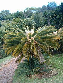 Encephalartos Friderici-guilielmi             White-haired Cycad          Wit-blaarbroodboom         Kirstenbosh   4 m    SA no 4