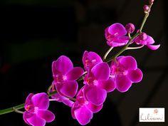 LOS MEJORES ARREGLOS FLORALES A DOMICILIO. ¿Sabía que cada flor tiene un significado? Existen miles de especies diferentes y cada una tiene un significado especial, la mayoría de ellas positivo e inspirador. En Lilium sabemos la importancia del lenguaje secreto de las flores, por esta razón, queremos brindarle las más hermosas, combinadas en originales diseños para cada ocasión. Le invitamos a ingresar a nuestra página en internet www.lilium.mx en dónde podrá elegir el arreglo que más le…