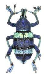 Curculionidae Australische Region. Wonderful site for images of beetles: http://www.kaefer-der-welt.de/familienliste.htm