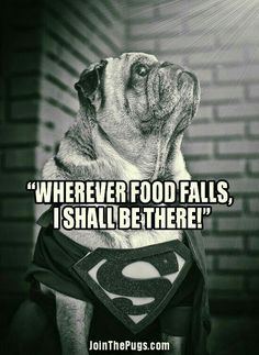 Super Pug is here to save dinner.  >> www.jointhepugs.com <<  #PugPower #PugLife #VotePug #Puppy