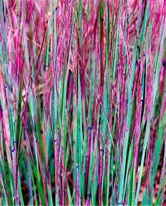 Striking Little Bluestem, a native prairie grass perfect for Midwest gardens. Details: http://www.midwestliving.com/garden/ideas/best-ornamental-grasses-for-midwest-gardens/?page=4,0