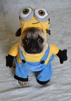 Our Pug Boo The Minion #pugcostume #pughalloween #pugminion #minionpug