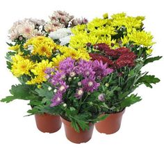 chrysanthemum.jpg (594×540)