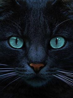 Love those Eyes! Black Cats With Blue Eyes ➰ #Animals