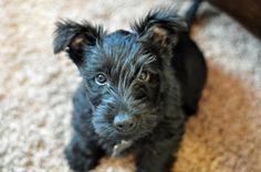 Scottie puppy