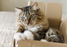 猫は、どうしてこんなに箱を愛するの?   専門家に聞いてみた