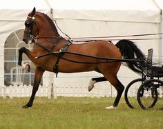 Hackney Horse ~ love their gaits Horse And Buggy, Horse Love, Most Beautiful Animals, Beautiful Horses, Hackney Horse, Horse Carriage, Majestic Horse, All The Pretty Horses, Draft Horses