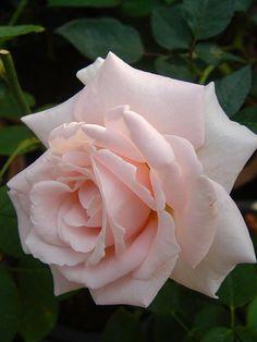 Pink Hybrid Tea Rose