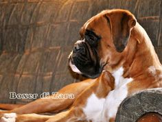 Havenwoods Boxers Top Quality Akc German European And American Boxers Based In Central Ohio Health Tested Parents Breeding For Health Qu Boxer Boxer