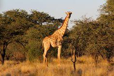 Giraffe @ Mokala N.P.