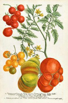 Tomatoes by Johann Weinmann  1737-45