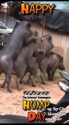 Pigs humping funny Happy Hump day gif
