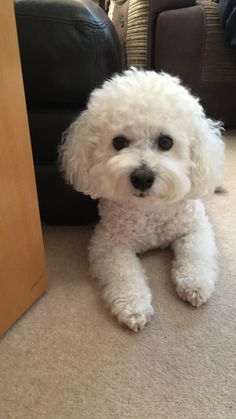Dogs are said to be some of the best pets to keep. As a matter of fact, they are referred to as man's best friends. There are many breeds of dogs Bichon Dog, Cockapoo Puppies, Cute Puppies, Cute Dogs, Dogs And Puppies, Doggies, Maltipoo, Animals And Pets, Baby Animals