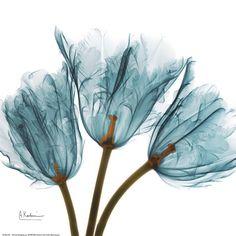 Tulips in Blue Art Print by Albert Koetsier- X-ray photography! Blue Framed Art, Blue Art, Framed Wall Art, Framed Art Prints, Purple Art, Transparent Flowers, Deco Nature, Blue Poster, Botanical Art