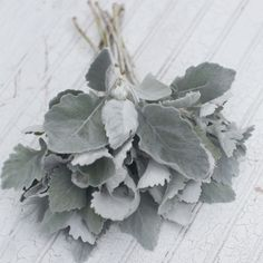 One of the most productive and unique foliage plants around, this special Dusty Miller features tall, thick stems with large, smooth-edged silver leaves. The more you pick it, the more stems it produces. Ready to cut in just four months from sowing, this hardworking plant will reward you with buckets and buckets of fuzzy silvery foliage all season long. In warmer areas it will perennialize if mulched. Dusty Miller 'New Look' Cineraria maritima seeds available from Floret.