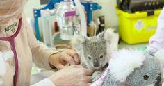 Un koala bebé se aferra a un peluche como si fuese su madre en Australia.