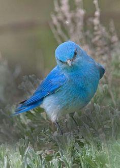 Ideas blue bird photography animals for 2019 Kinds Of Birds, All Birds, Little Birds, Love Birds, Pretty Birds, Beautiful Birds, Animals Beautiful, Cute Animals, Simply Beautiful