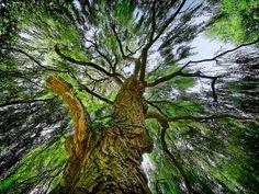 Weeping Willow looking upwards