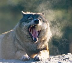 White Wolf Scientists Claim That Wolf Yawning Is Contagious Lets Prove It 25