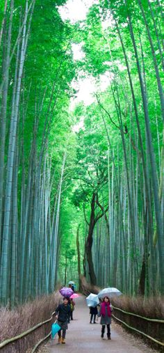 Bamboo forest of Arashiyama in Kyoto, Japan where the long trunks can grow as tall at 30 metres!